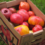 Heirloom-Tomatoes-CSA