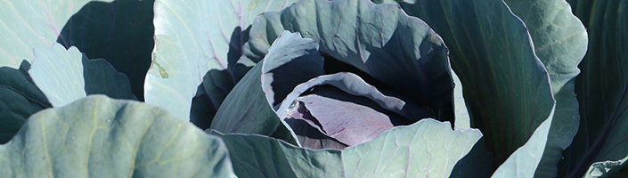Cabbage by Early Morning Farm CSA