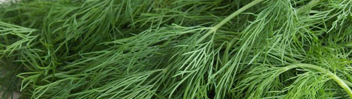 Dill by Early Morning Farm CSA