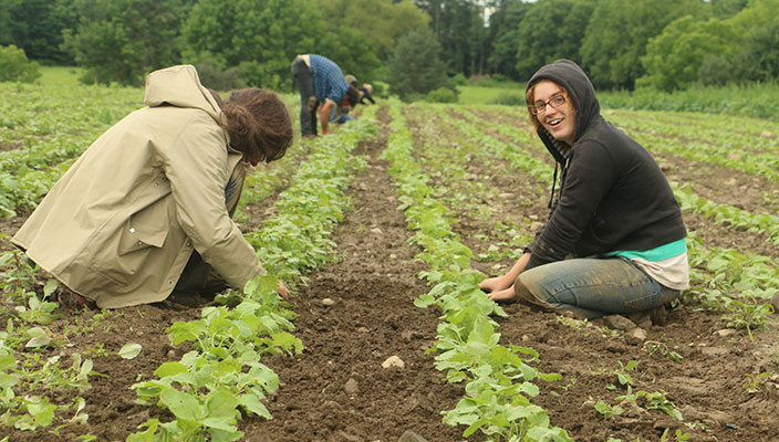 weeding rutabagas for our CSA at Early Morning Farm