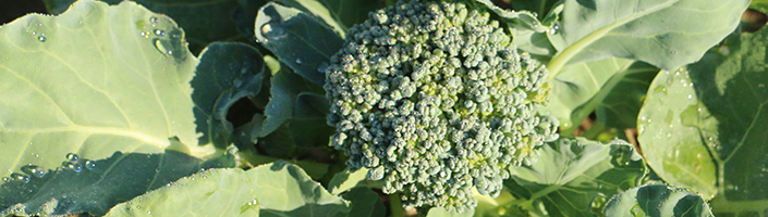 Broccoli by Early Morning Farm CSA
