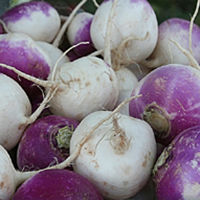 purpletopturnips