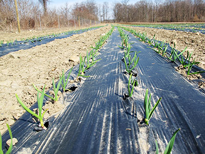 The Story of our CSA Seed Garlic
