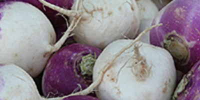 Purple Top Turnips